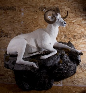 Dall's sheep, bedded