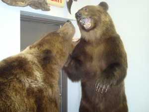 Grizzly bears, fighting (2)