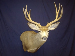 mule deer, semi-sneak, wall pedestal