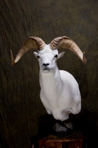 Dall's sheep, semi-sneak