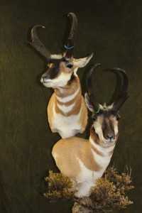 Pronghorn, double pedestal