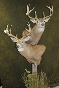 White-tailed deer, double pedestal