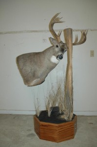 White-tailed deer, pedestal rubbing fencepost
