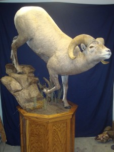 Bighorn sheep, walking downhill