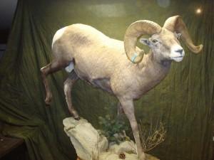 Bighorn sheep, walking downhill (4)