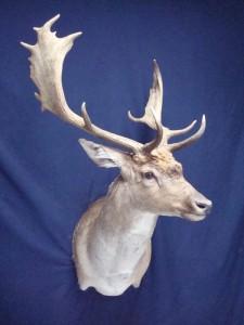 Fallow deer shoulder