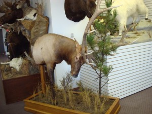 Half Life-size elk rubbing pine tree