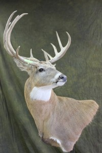white-tailed deer, wall pedestal, strong turn