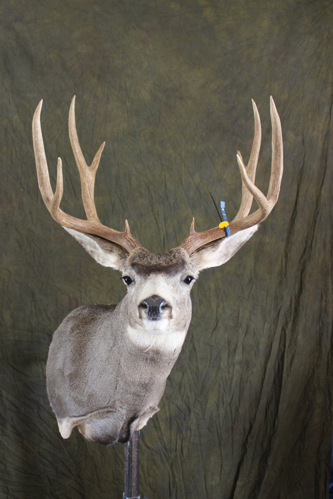 Uncategorized >> Shoulder mounts- Monteith Taxidermy