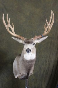 mule deer, upright