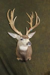 mule deer, semi-sneak