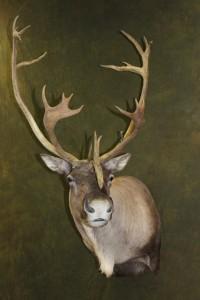 caribou, semi-sneak