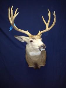 Mule Deer, semi-sneak, left turn