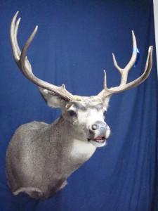Mule deer flehmen pose