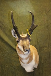 Semi-sneak pronghorn
