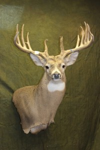 Upright wall pedetal whitetail