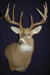 white-tailed deer, wall pedestal