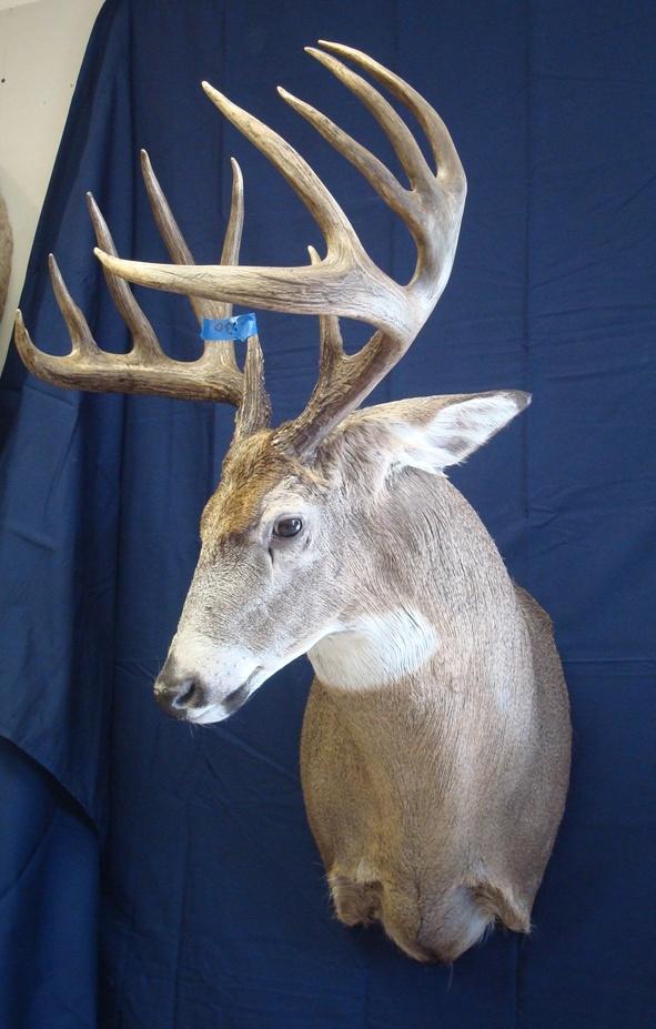 Deer Head Mount >> Shoulder mounts- Monteith Taxidermy