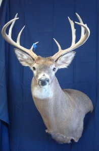 white-tailed deer wall pedestal