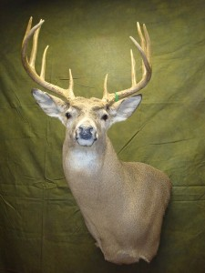 White-tailed deer, Wall-pedestal, upright, right G-4 replace