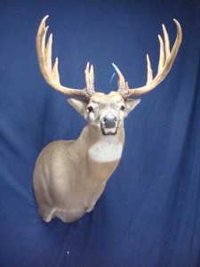 White-tailed deer shoulder semi-upright