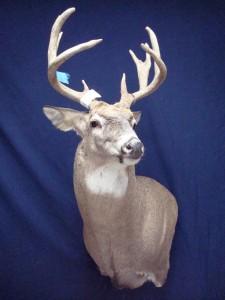 White-tailed deer, wall pedestal, left turn