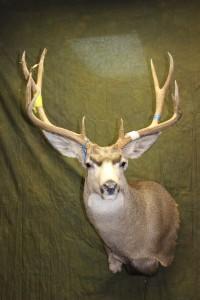 wall-pedestal mule deer