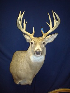white-tailed deer, semi-upright wall pedestal
