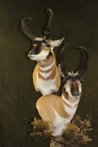 Pronghorn, double pedestal
