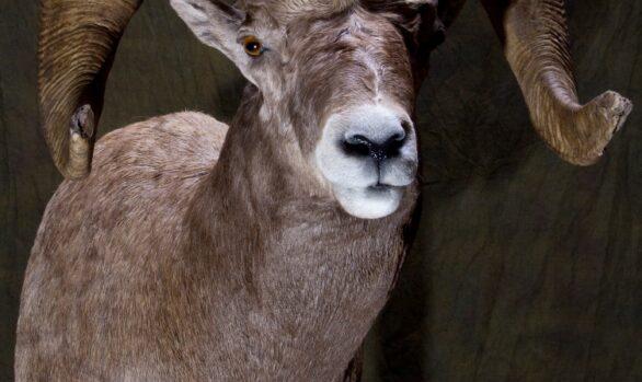 Bighorn Sheep Shoulder Mount